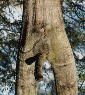 tronco fallico