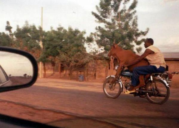 Trasporto mucca