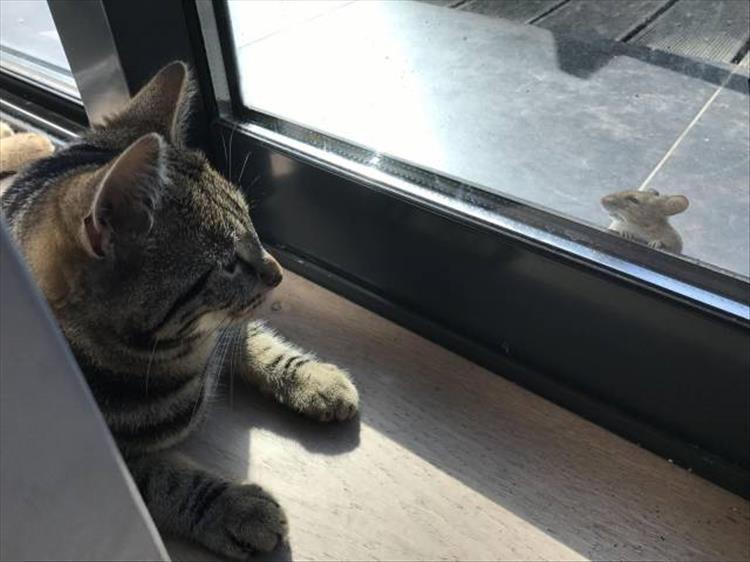 Gatto contro topo