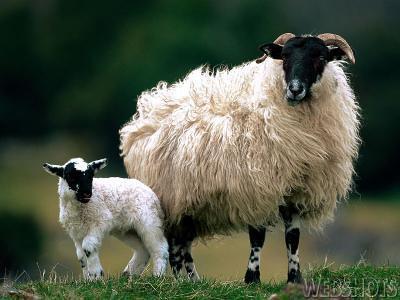 tenerezze di lana