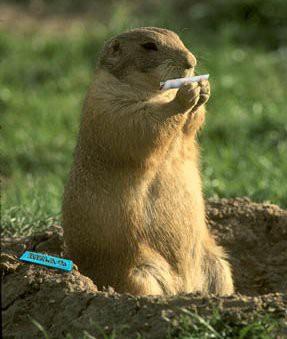 quant'è la minima quantità per le marmotte?