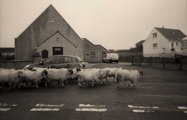 Pecore per strada