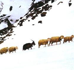 pecore in cordata