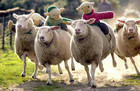 17-02-sheep_racing.jpg